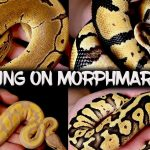 Reptiles for Sale from Breeders Worldwide - MorphMarket USA