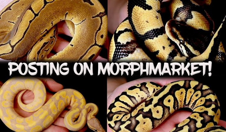 Reptiles for Sale from Breeders Worldwide – MorphMarket USA